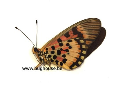 Acraea Cepheus (Afrika)