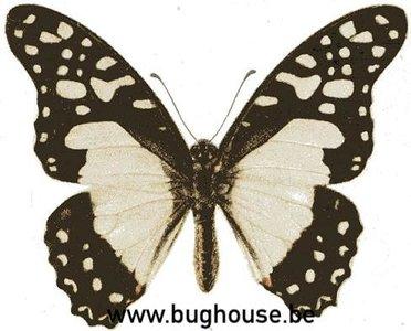 Graphium Angolanus (RCA)