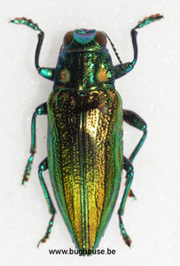Chrysodema Impressicollis (Ambon)