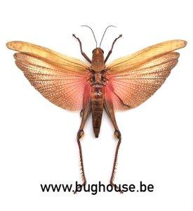 Valanga nigricornis javanica (Java) SPREAD