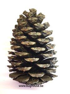 Fir cone BIG 14-18cm