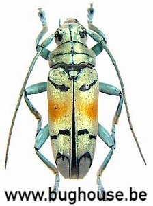 Tmesisternus Rafaelae (Indonesia)