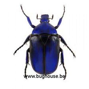 Rhomborrhina Flammea BLUE (Thailand)