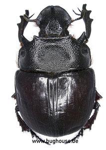 Heliocopris Bucephalus (Thailand)