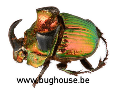 Phanaeus Mexicanus PAAR (Mexico)