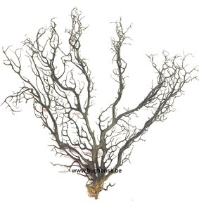 Black sea Fan -LARGE 1 -