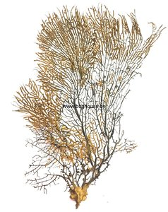 Black sea Fan -LARGE 5 -