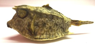 Dried cowfish -Large-