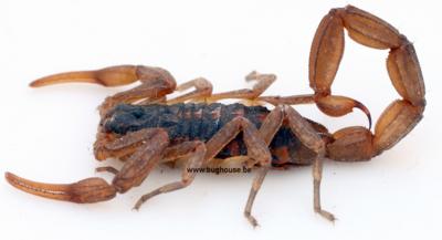 Baby scorpion (Madagascar)