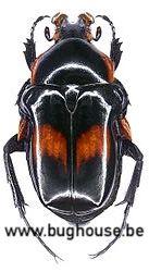 Anochilia Incilis (Madagascar)