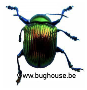 Chrysomelidae Sp1(Madagascar)