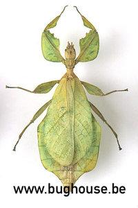 Phyllium Celebicum FEMALE (Green) (Thailand)