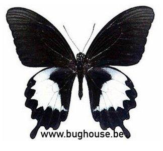 Papilio Albinus (Indonesië)