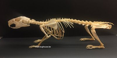 Guinea Pig Skeleton (Indonesia)