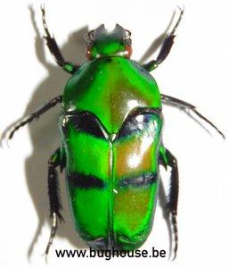 Ischiopsopha Bifasciata (Indonesië)