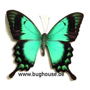 Papilio Lorquinianus (Bachan)
