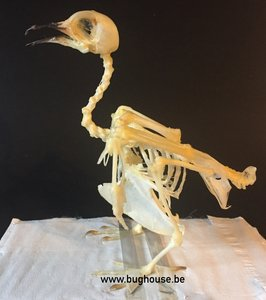 Spotted Dove Skeleton (Indonesia)