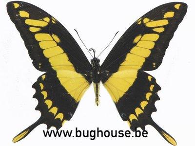Papilio Eracles (Peru)