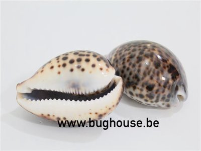 Crowie tiger shell