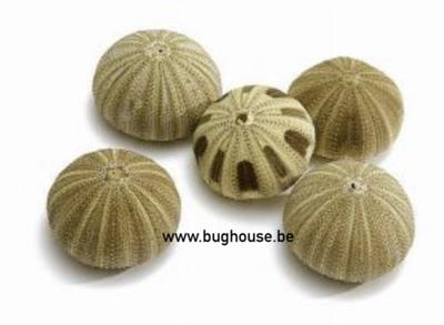 Sea urchin green