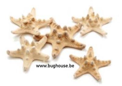 Philippine starfish natural color