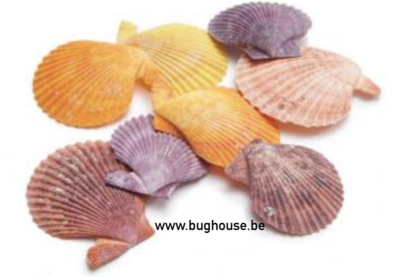 Pecten Nobilis shell (COLOR RED)