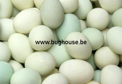 Empty Duck egg