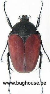 Parachilia Bufo (Madagascar)