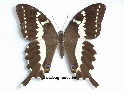 Papilio delalandei (Madagascar)