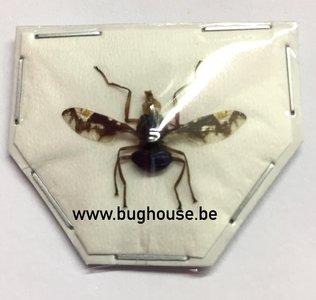 Diptera sp. (Java) SPREAD