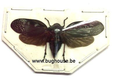 Cercopidae sp01. (Sulawesi) SPREAD