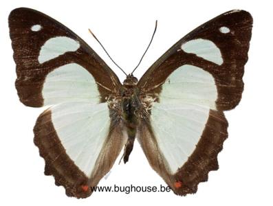 Pyrrhogyra edocla (Peru)
