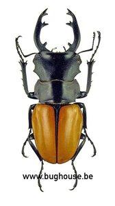 Odontolabis Elegans (Thailand)