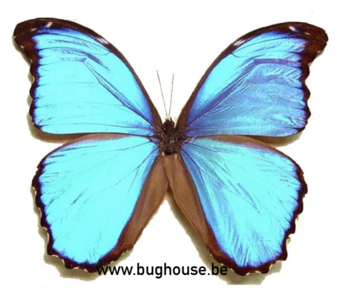 Morpho Menelaus (French Guyana) DEEP BLUE