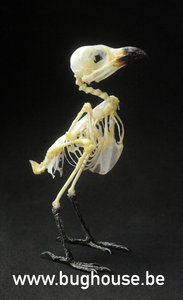 Long-tailed Shrike bird Skeleton