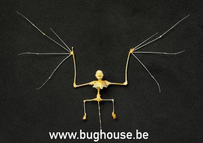 Kerivoula picta Skeleton