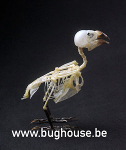 Spotted munia bird Skeleton