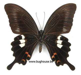 Papilio helenus hytaspes (Philippines)