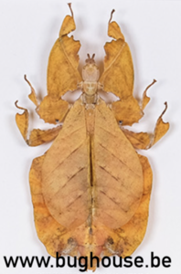 Phyllium Bioculatum FEMALE (Orange) (Java)