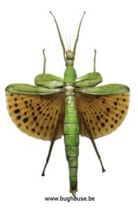 Paracypocrania Major (Peleng)