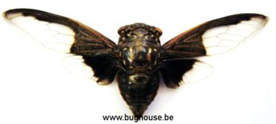 Cryptotympana Aquila (Thailand)