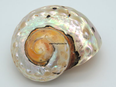 Turbo Samarticus shell 8cm