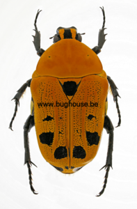 Euchroea auripimenta (Madagascar)