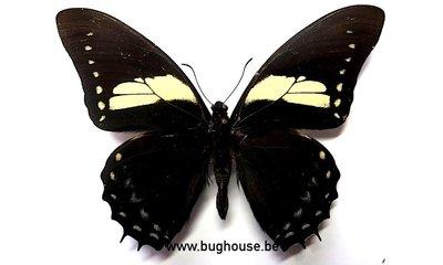 Papilio Aristeus Bitias (Peru)