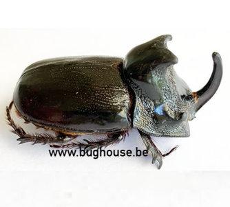 Trichogomphus martabani (Thailand)