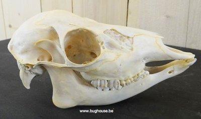 Follow deer skull 100% complete