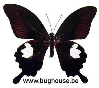 Papilio helenus (Thailand)