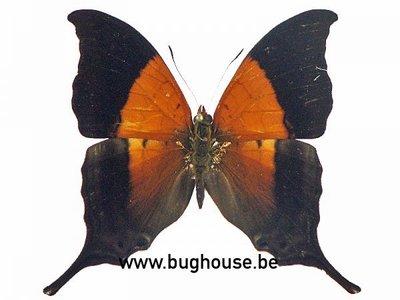 Marpesia Furcula (Peru)