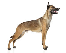 Kit of a Malinois dog (100% complete)
