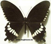 Papilio polytes timorensis (Australia)
